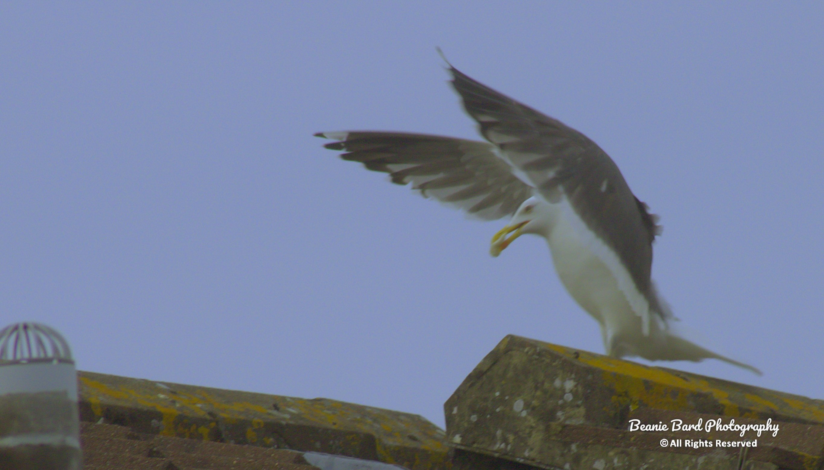 Seagull with wings outspread walking along a rooftop with food in its beak
