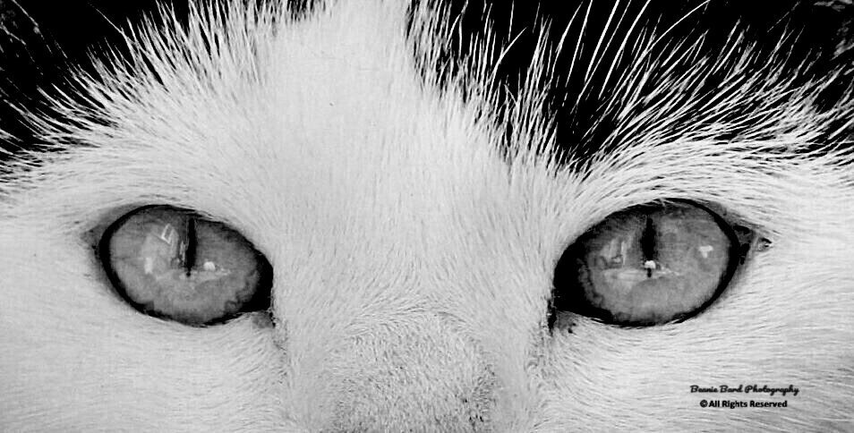 Close up of the eyes of a black and white cat
