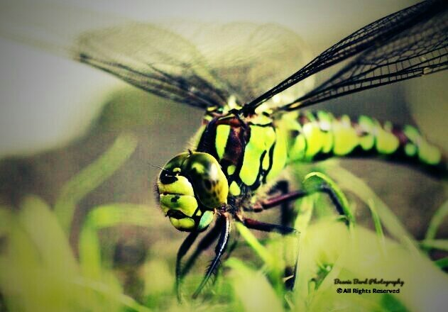 Faded image of a large dragonfly in the grass