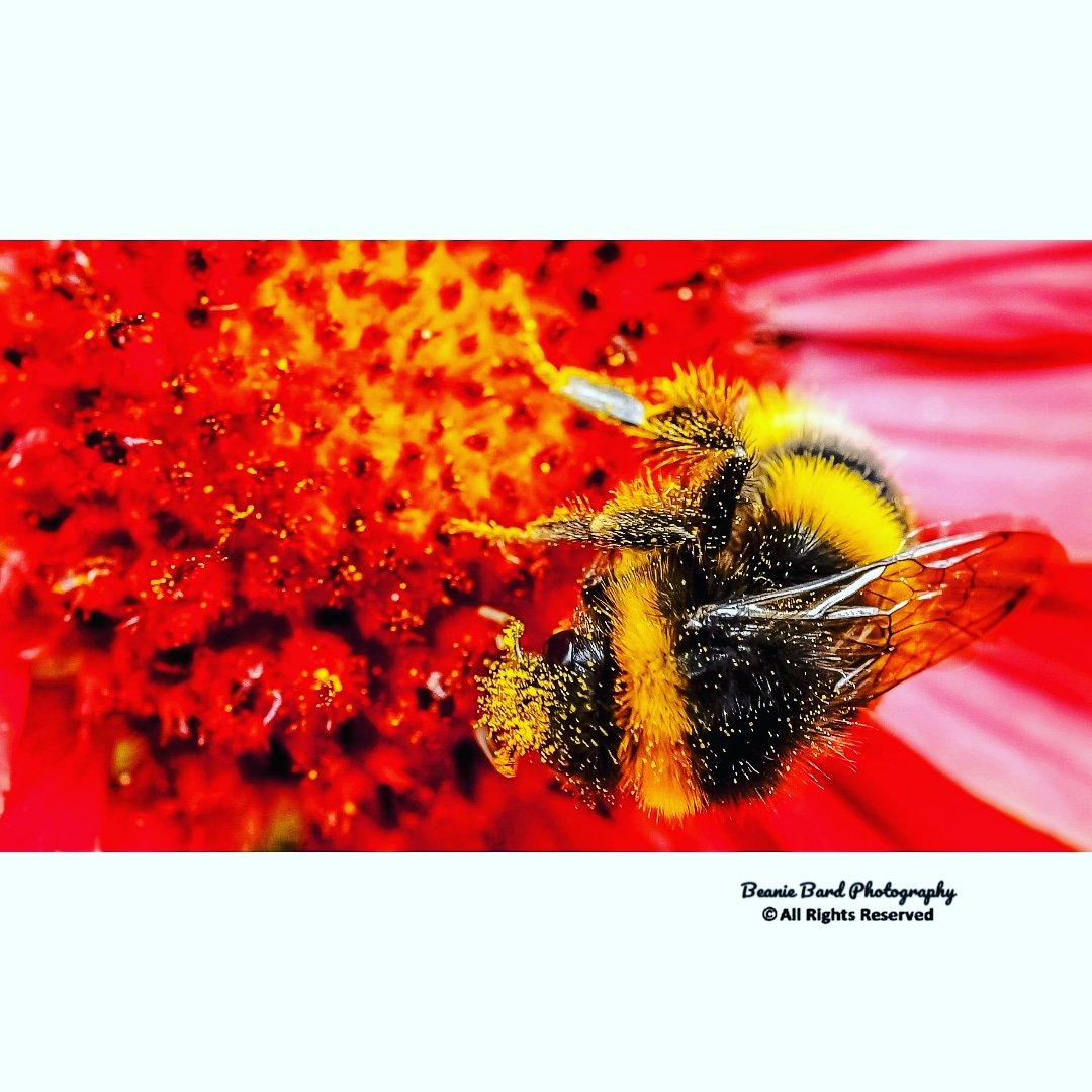 Macro image of a bumblebee covered in pollen on a red flower