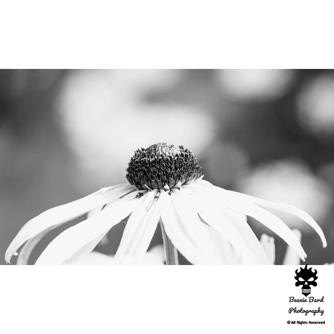 Black and white photo of a flower on a bokeh background