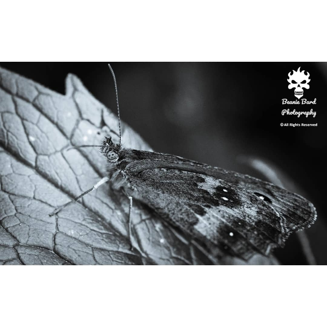Black and white macro image of a moth with dotted eyes on a leaf