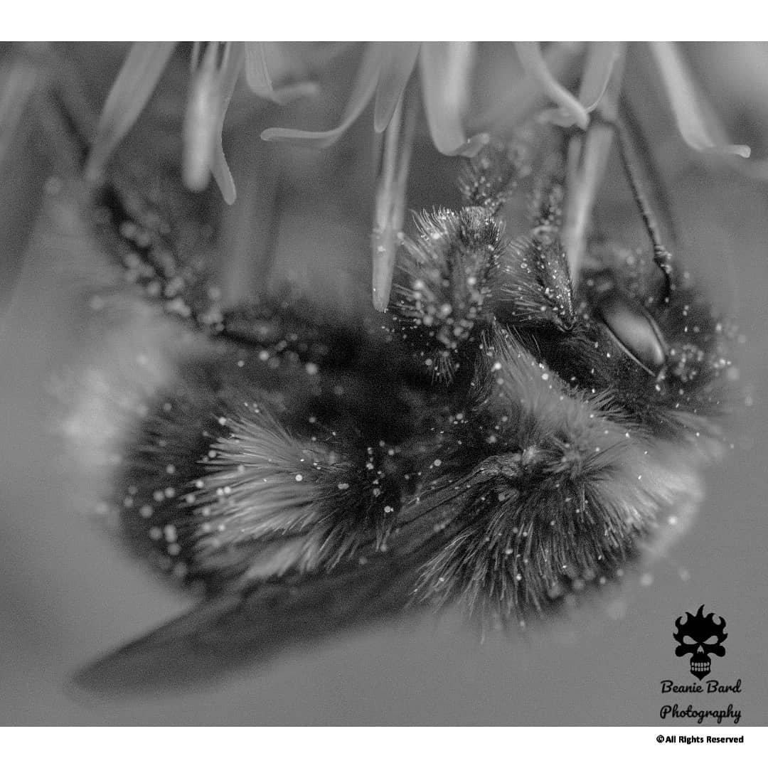 Black and white macro photo of a bee covered in pollen on a flower