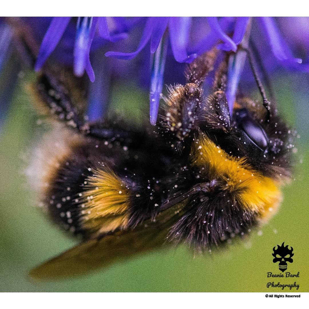 Macro image of a bumblebee covered in pollen drinking from a purple flower