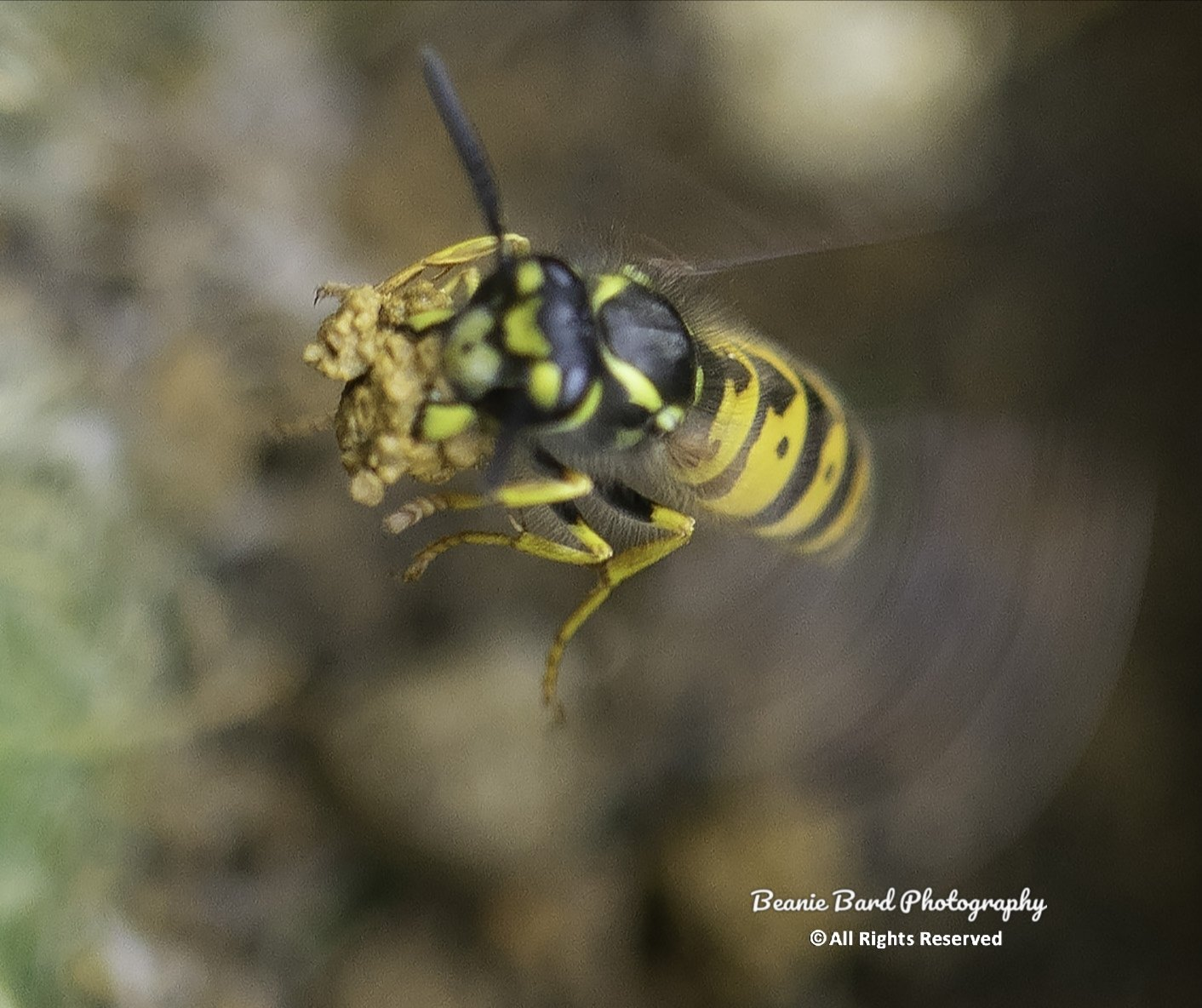 Macro image of a wasp in flight carrying a crumb of food