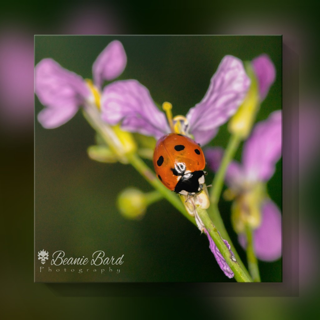 An image of a ladybird walking along a green stem with purple flowers