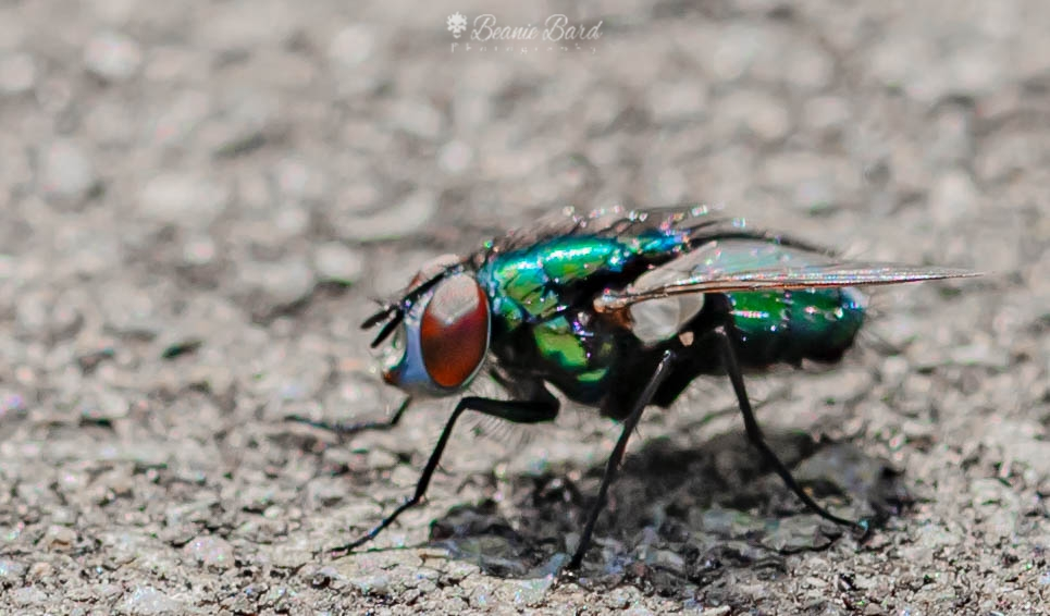 A pavement witha side view of an extreme closeup of a green bottle fly with green/blue iridescent bottle and scarlet eyes